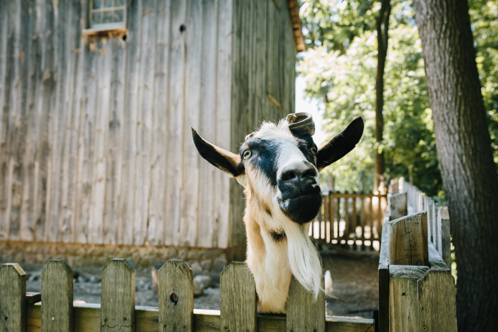 Wedding goat at Cobblestone Farm in Ann Arbor, Michigan